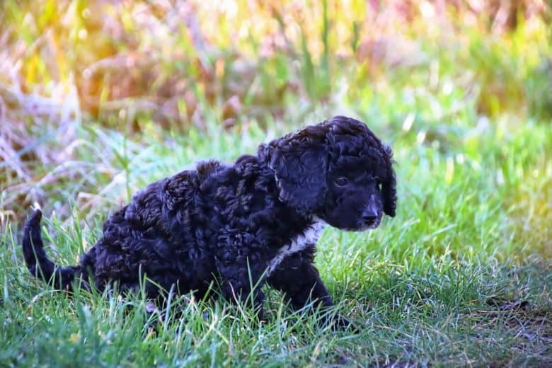 Black Cockapoo standing in the grass outdoors
