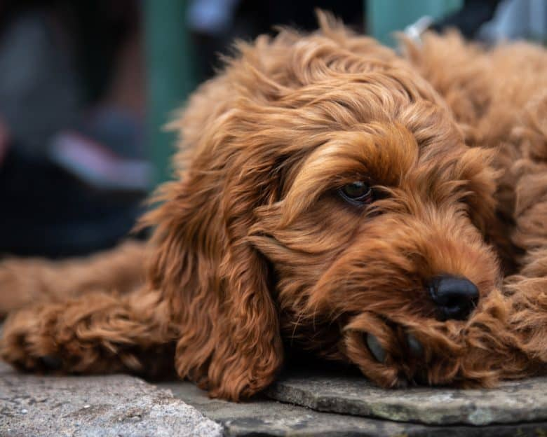 A red Cockapoo puppy lying on the pavement