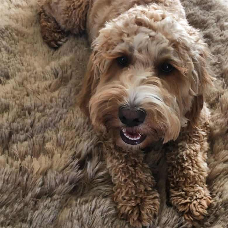 Curly-haired Cockapoo lying on a rug