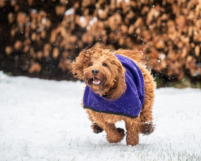 Cocker Spaniel-Poodle mix wearing a blanket and running in the snow