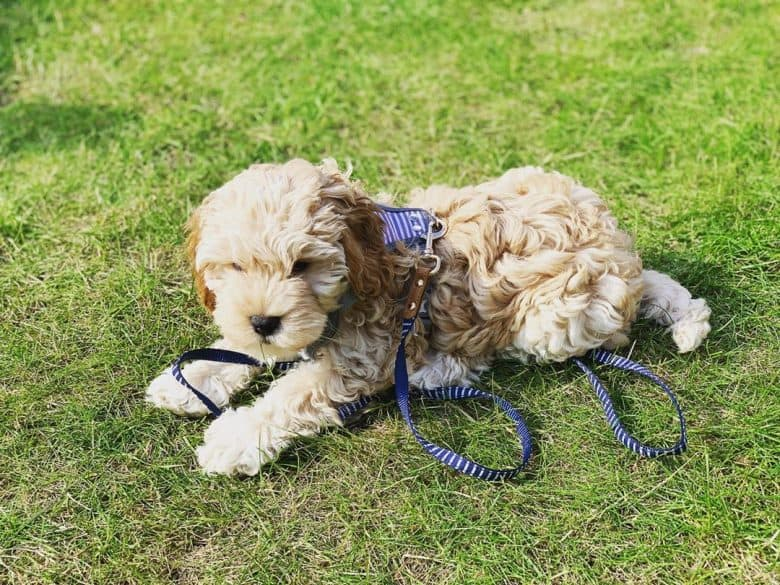 Cockapoo puppy with a harness lying in the grass