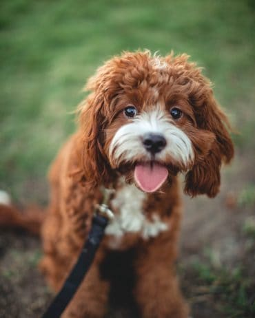 Cavapoo with a red and white coat sticking its tongue out