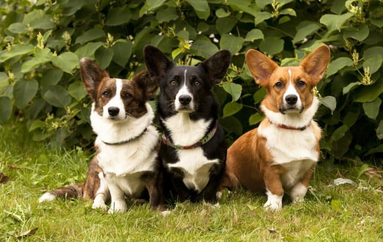 Welsh Corgis sitting in the grass