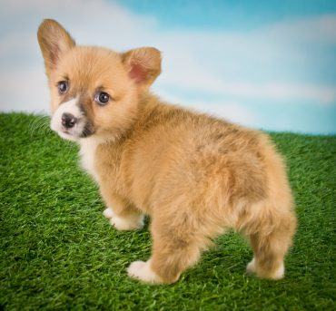 Welsh Corgi puppy looking back
