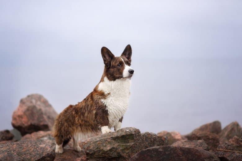 Welsh Corgi standing on a rock outdoors
