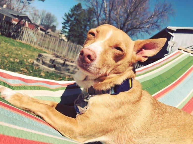 Corgi Chihuahua Mix lying in the sun