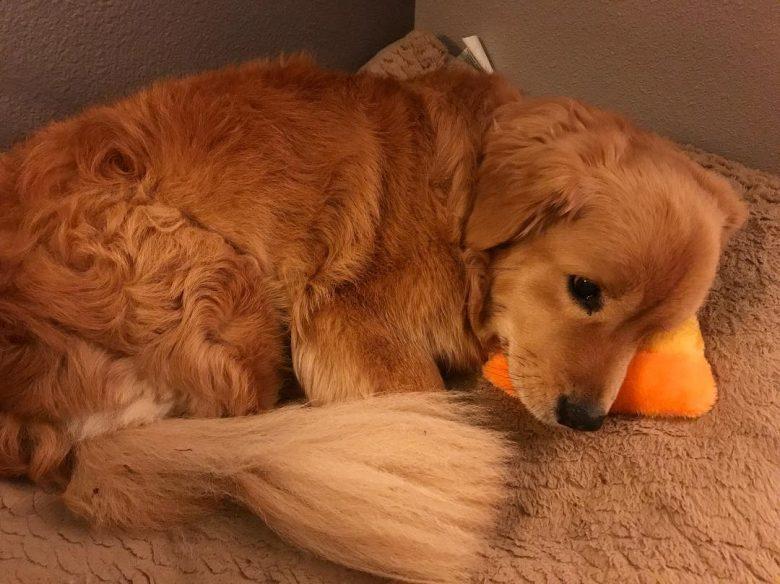 Corgi Golden Retriever Mix cuddling a toy
