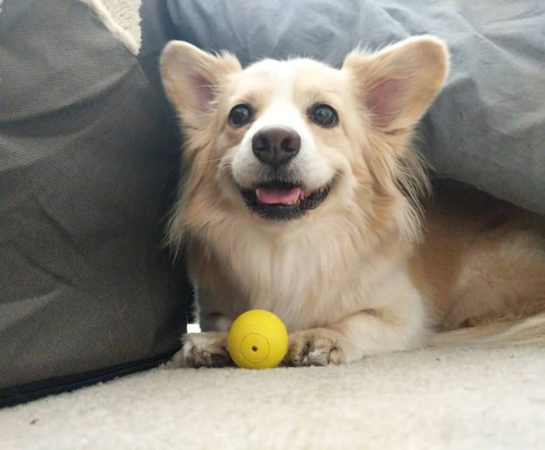 Corgi Pomeranian Mix lying on the floor with a ball