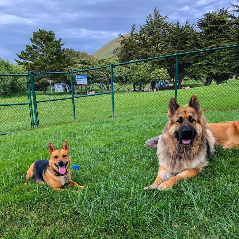 Corman Shepherd in a park lying next to a German Shepherd