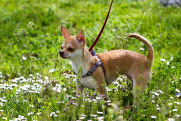 A short-haired Deer Head Chihuahua standing in the middle of a field of grass