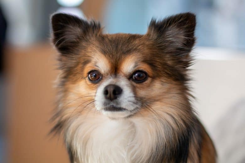 Close-up of a Deer Head Chihuahua with long hair