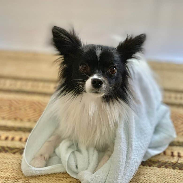 Deer Head Chihuahua with long coat wrapped in a towel