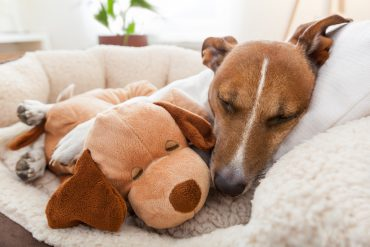 Dog sleeping while cuddling a stuffed animal