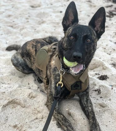 Dutch Shepherd with a tennis ball in his mouth and lying in sand