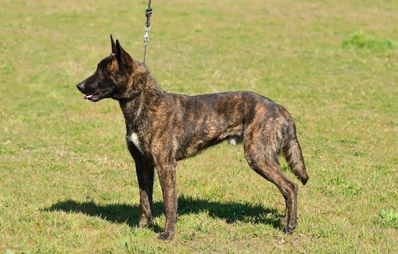 Dutch Shepherd on a leash standing on grass