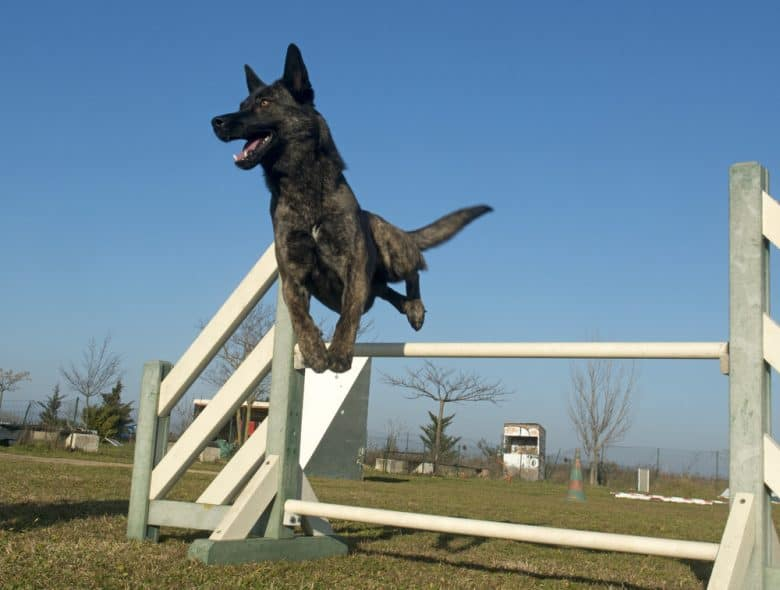 Dutch Shepherd jumping over a hurdle at an agility course