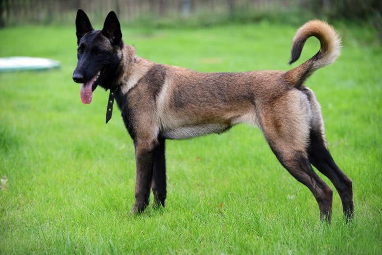 Belgian Malinois standing in a field of grass with its tongue out