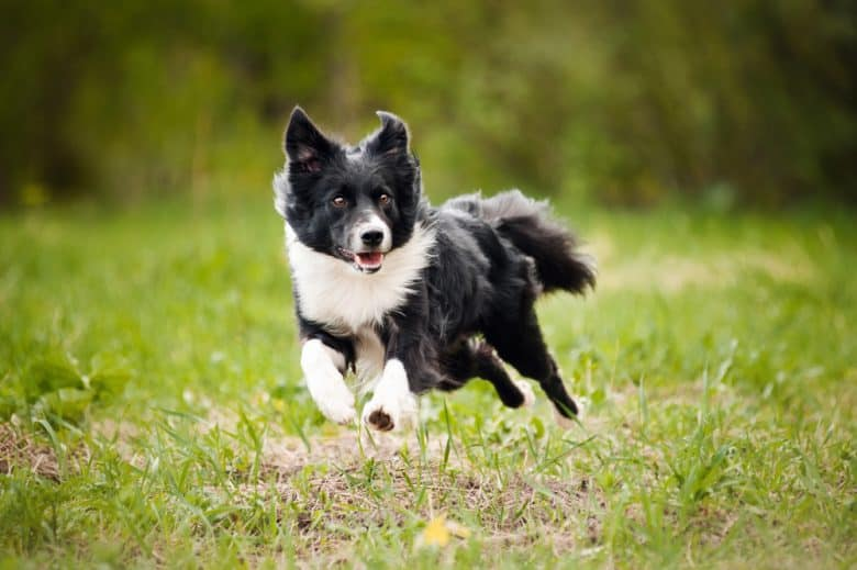 Black and white Border Collie running outdoors