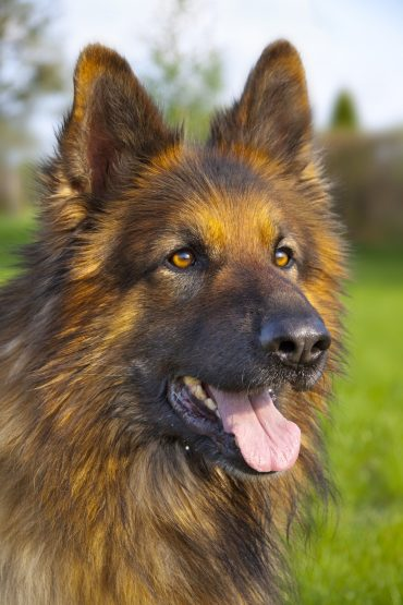 A close up shot of the German Shepherd