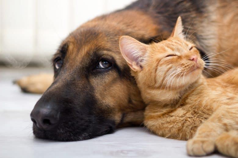German Shepherd and cat lying side by side