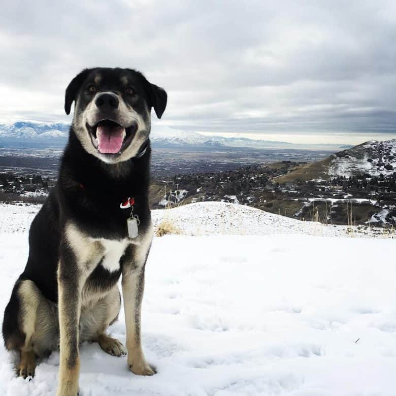 Husky Lab Mix standing in the snow outdoors