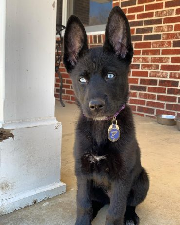 B;lack Husky Lab Mix puppy standing outside a building