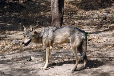 An Indian dog walking in the woods