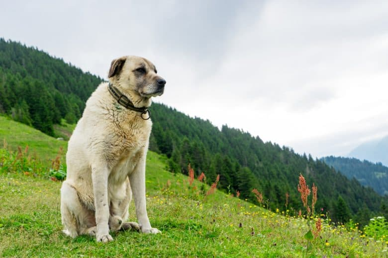 Kangal sitting on a grassy hill