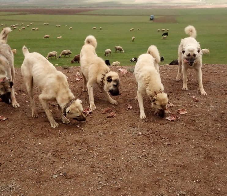 Kangal dogs wearing spiked collars and eating