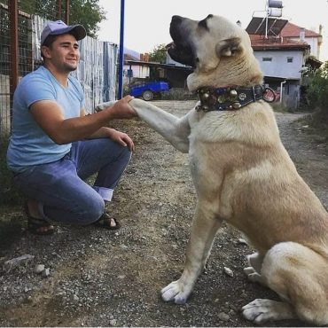Kangal with its paw held by a man