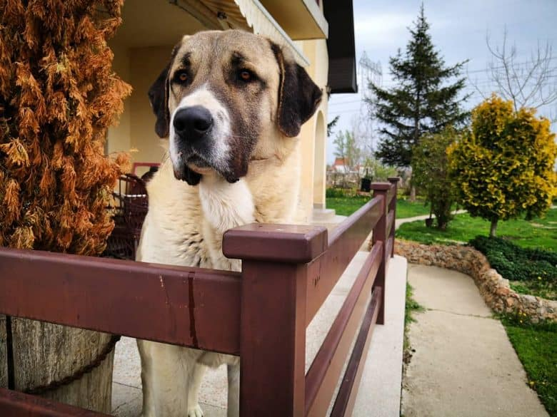 Kangal standing on a porch