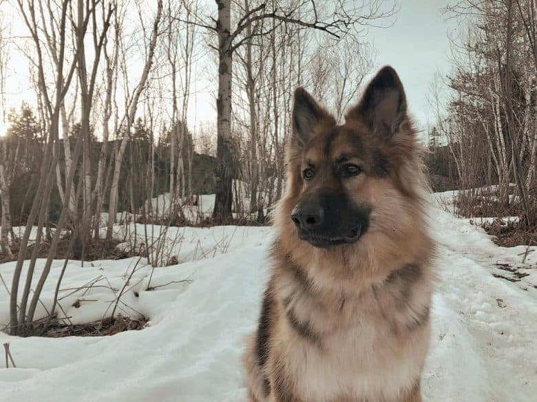 King Shepherd standing in the snow looking to the side