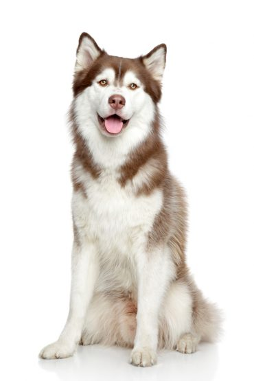 Siberian Husky sitting down with its mouth open