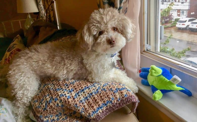 Maltipoo standing up on the couch behind a window