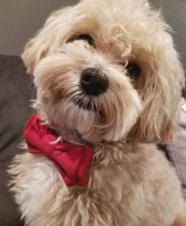Closeup of a Maltipoo in a bowtie