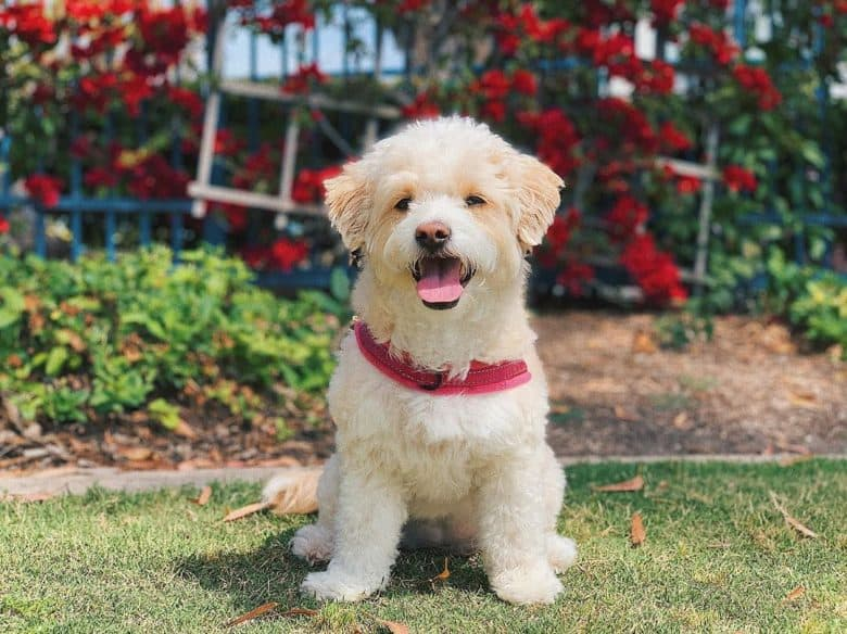 Poodle and Maltese Mix standing outdoors with its tongue out