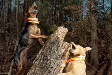 Mountain Curs barking on the hunt