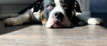 Mastiff Pitbull Mix with its head on the floor