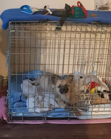 Pomchi in a crate surrounded with toys