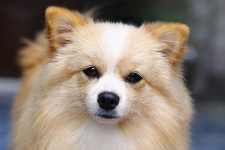 Close-up of a brown and white Pomchi