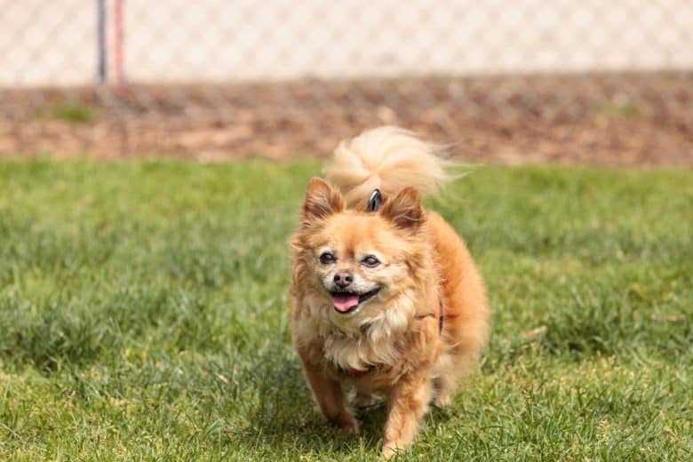 Chihuahua Pomeranian mix plays in a dog park