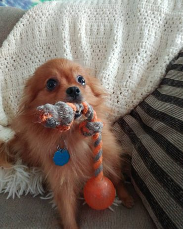 Brown Pomchi with a toy in its mouth standing on a couch