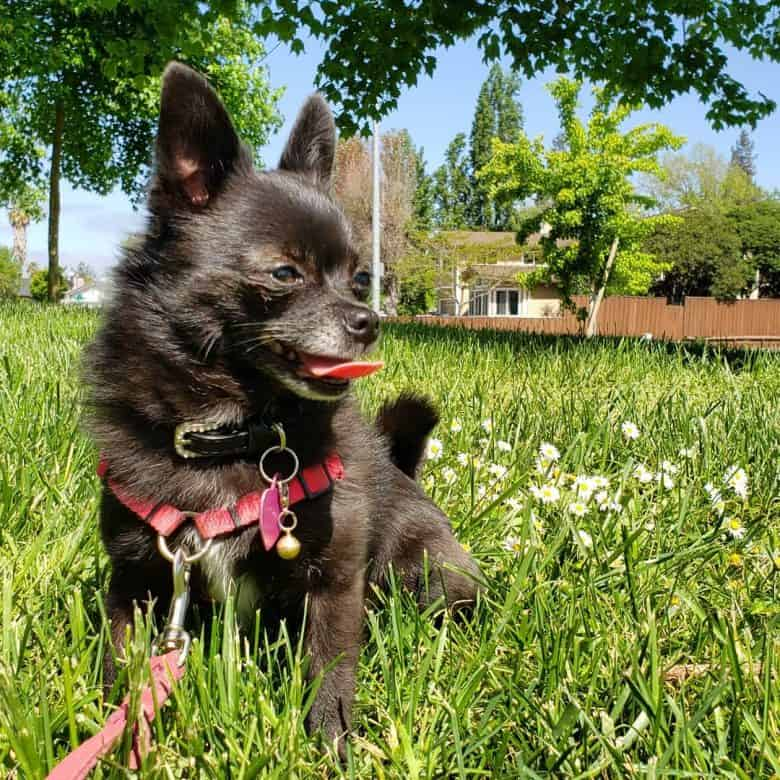 Black Pomchi spending time outdoors on the grass