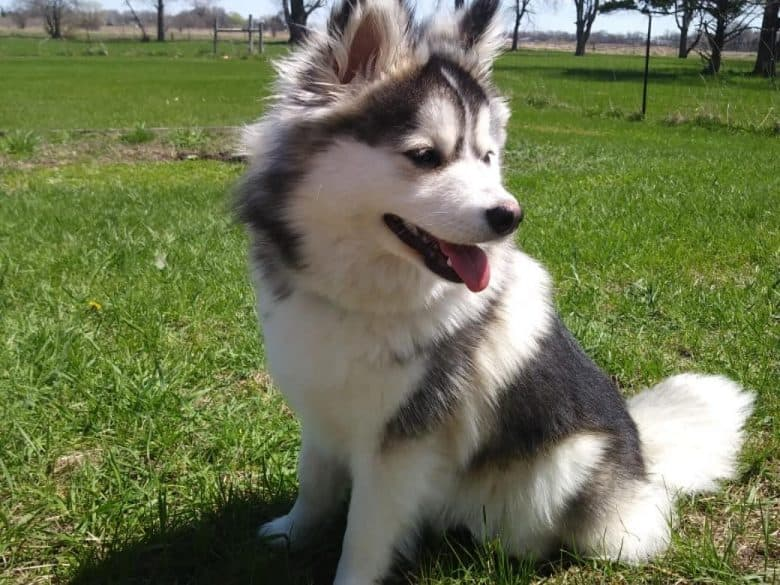 Pomsky sitting in the grass outdoors outdoors