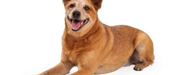Red Heeler lying down with a happy expression on its face