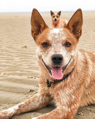 Red Heeler lying in the sand with its tongue out