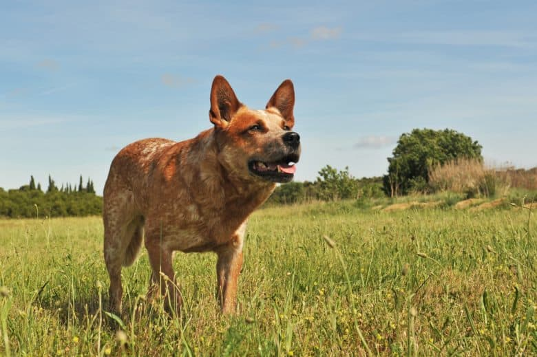 Red Australian Cattle Dog standing in a field