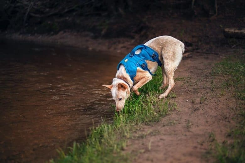 Red Heeler sniffing at a pool of water
