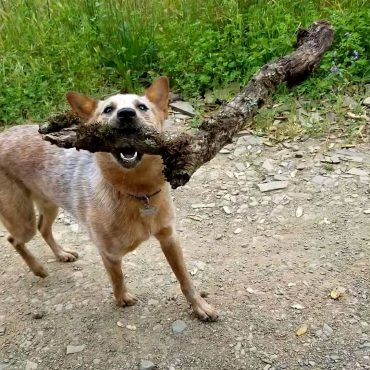 Red Heeler holding a large stick in its mouth