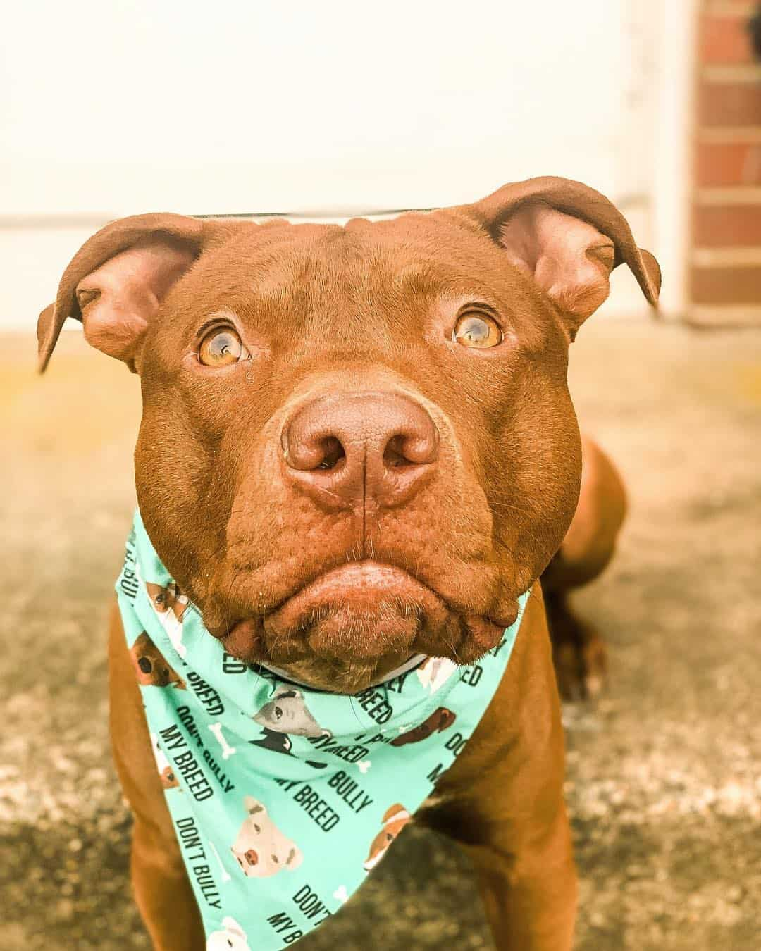 Red Nose Pitbull 101 What You Need To
